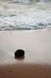 Rijpe kokosnoot op de kust Stock Foto