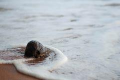 Rijpe kokosnoot op de kust Stock Fotografie