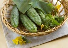 Rijpe komkommers van een moestuin Royalty-vrije Stock Foto's