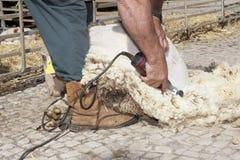 Rijpe landbouwer het scheren schapen stock foto's