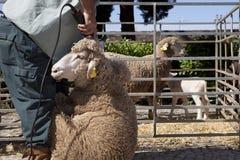 Rijpe landbouwer het scheren schapen met clipper Stock Afbeelding
