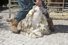 Rijpe landbouwer het scheren schapen met clipper Royalty-vrije Stock Fotografie