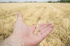 Rijpe landbouwershand die een geel tarweoor geplukt houden enkel stock afbeelding