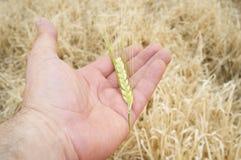 Rijpe landbouwershand die een groen tarweoor houden stock afbeeldingen