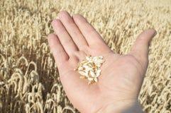 Rijpe landbouwershand die een handvol enkel geplukte tarwekorrels houden royalty-vrije stock afbeelding