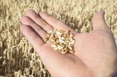Rijpe landbouwershand die een handvol enkel geplukte tarwekorrels houden stock foto