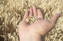 Rijpe landbouwershand die een handvol enkel geplukte tarwekorrels houden royalty-vrije stock fotografie