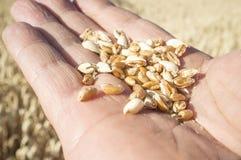 Rijpe landbouwershand die een handvol enkel geplukte tarwekorrels houden stock afbeelding