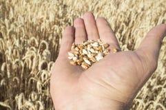 Rijpe landbouwershand die een handvol enkel geplukte tarwekorrels houden Royalty-vrije Stock Foto's