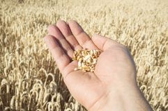 Rijpe landbouwershand die een handvol enkel geplukte tarwekorrels houden Stock Foto's