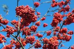 Rijpe lijsterbessenbessen op de boom tegen de hemel Royalty-vrije Stock Afbeeldingen