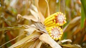 Rijpe maïs op de maïskolf op gecultiveerd landbouwgraangebied klaar voor oogst het plukken stock video