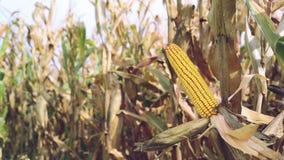 Rijpe maïs op de maïskolf op gecultiveerd landbouwgraangebied klaar voor oogst het plukken stock videobeelden