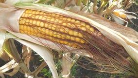 Rijpe maïs op de maïskolf op gecultiveerd landbouwgraangebied klaar voor oogst het plukken stock footage