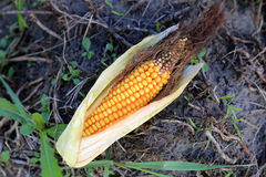 Rijpe maïskolf op grondachtergrond Stock Fotografie
