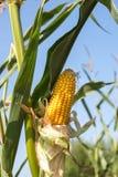 Rijpe maïskolf op het graangebied vlak vóór het oogsten op s Stock Afbeeldingen