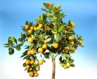 Rijpe mandarijnen Stock Foto
