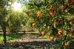 Rijpe mandarin boom in de landbouwbedrijftuin Royalty-vrije Stock Fotografie