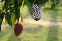Rijpe mango's op de boom in de tuin stock afbeelding