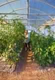 Rijpe mannelijke tuinman die in serretuin werken Royalty-vrije Stock Foto