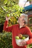 Rijpe Mens het Plukken Appelen van Boom in Tuin Stock Foto