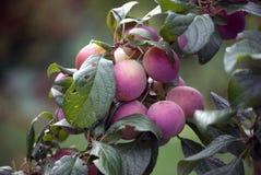 Rijpe, Mollige Pruimen (Prunus Rosacea) Royalty-vrije Stock Foto's