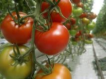 Rijpe natuurlijke tomaten die in een serre groeien Royalty-vrije Stock Afbeelding