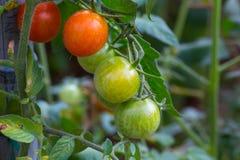 Rijpe natuurlijke tomaten die op een tak in een serre groeien royalty-vrije stock afbeeldingen