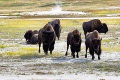 Rijpe Noordamerikaanse Buffels die woede uitdrukken Royalty-vrije Stock Foto's