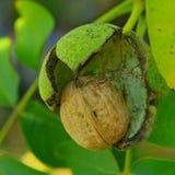 Rijpe noten van een Okkernootboom Stock Foto's