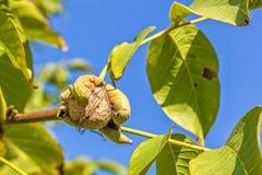 Rijpe okkernoot op een tak tegen de blauwe hemel, close-up Stock Foto's