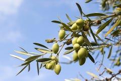 Rijpe olijven op tak van boom Stock Foto's
