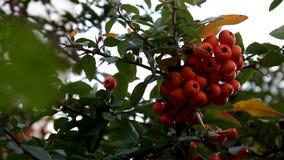 Rijpe oranje bossen van bessen op tak stock footage