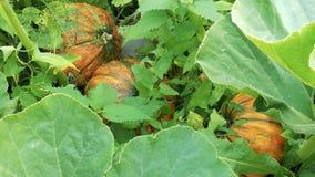 Rijpe oranje pompoenen tussen groene installaties stock footage