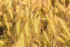 Rijpe oren van cornfield van de gerstclose-up Achtergrond stock afbeeldingen