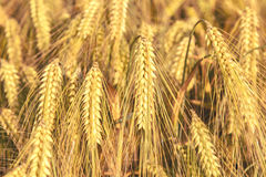 Rijpe oren van cornfield van de gerstclose-up Achtergrond royalty-vrije stock foto