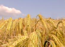 Rijpe oren van cornfield van de gerstclose-up blauwe hemel Als achtergrond stock foto's