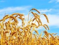 Rijpe oren van tarwe op gebied tijdens concept van de oogst het Landelijke landbouw stock fotografie