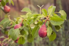 Rijpe organische peren op een tak van perenboom Royalty-vrije Stock Foto