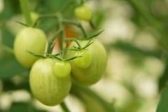 Rijpe organische tomaten Stock Afbeelding