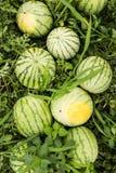 Rijpe organische watermeloenen op het gebied royalty-vrije stock afbeelding