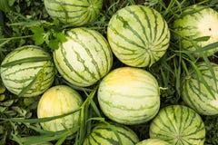 Rijpe organische watermeloenen op het gebied, dia royalty-vrije stock foto's