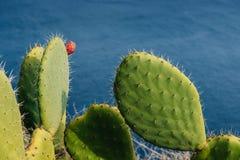 Rijpe paarcactus Met weerhaken Royalty-vrije Stock Foto's