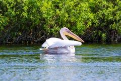 Rijpe pelikaan op water Royalty-vrije Stock Afbeelding
