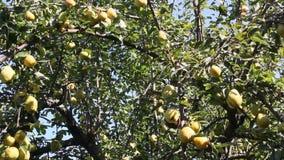 Rijpe peren op een boom stock video