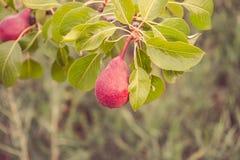 Rijpe peren op een tak van perenboom Stock Fotografie