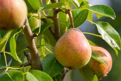 Rijpe perenvruchten Royalty-vrije Stock Afbeelding