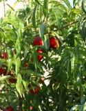 Rijpe perziken in de boom klaar om door de landbouwer worden verzameld Royalty-vrije Stock Fotografie