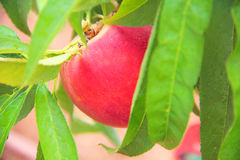 Rijpe perziken die onder groene bladeren groeien Royalty-vrije Stock Foto