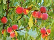 Rijpe perziken die van een boom hangen Stock Afbeeldingen